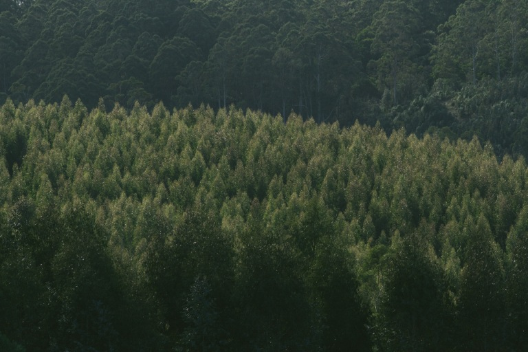 Yuulong Australia  city photos : year old trees at a tree farm in Yuulong in Victoria Australia